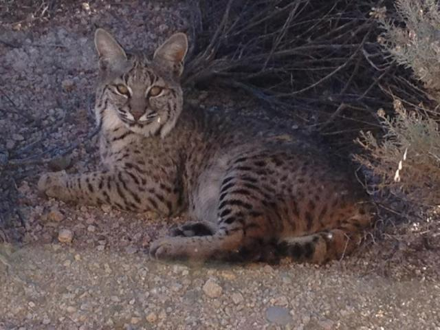 Bobcat outside my office window.